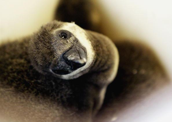 Пінгвіни - найбільш загартовані птахи. Фото: Graeme Robertson / Getty Images