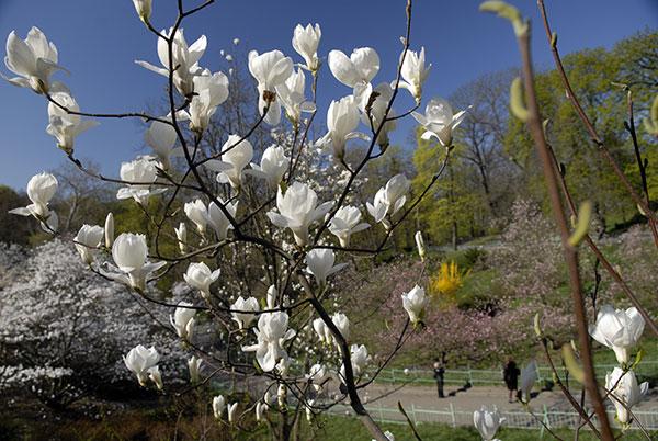 Квіти магнолії розпустилися в київському ботанічному саду. Фото: Володимир Бородін/The Epoch Times