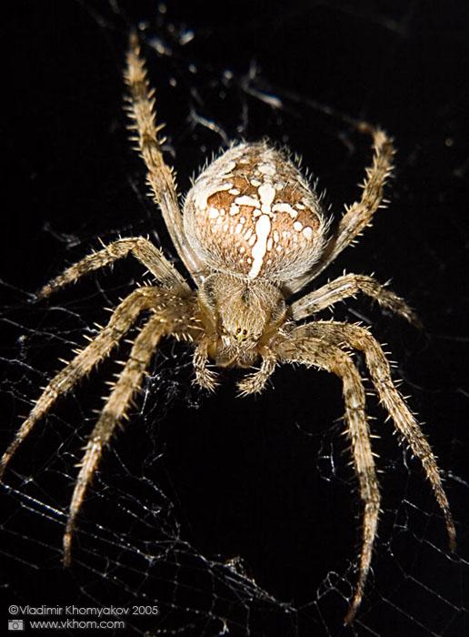 Найбільші павуки. Павук-хрестовик. Фото: vkhom.com
