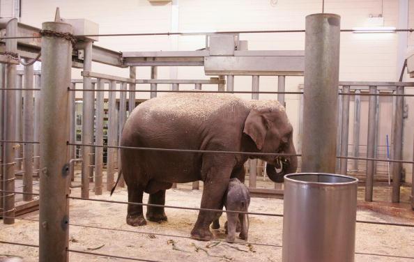 Новонароджене слоненя і мама. Сідней. 7 липня. Фото: Sergio Dionisio/getty Image