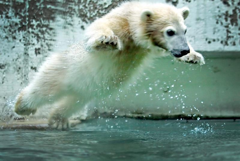 Вупперталь, Германия, 6 июня. Медвежонок Анори, обитающий в местном зоопарке, собирается искупаться. Фото: Claudia Otte/AFP/Getty Images