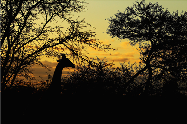 Заповідник Maшату. Жирафи. Фото: Cameron Spencer / Getty Images
