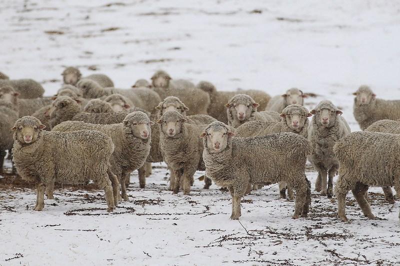Новую Зеландию засыпало снегом. Фото: Hannah Johnston/Getty Images