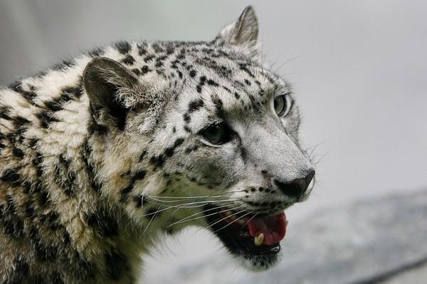 Сніговий барс в зоопарку Нью-Йорка. Фото: Chris McGrath/Getty Images