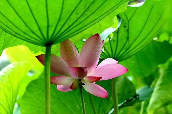 Лотос - символ непорочності та чистоти. Фото із secretchina.com