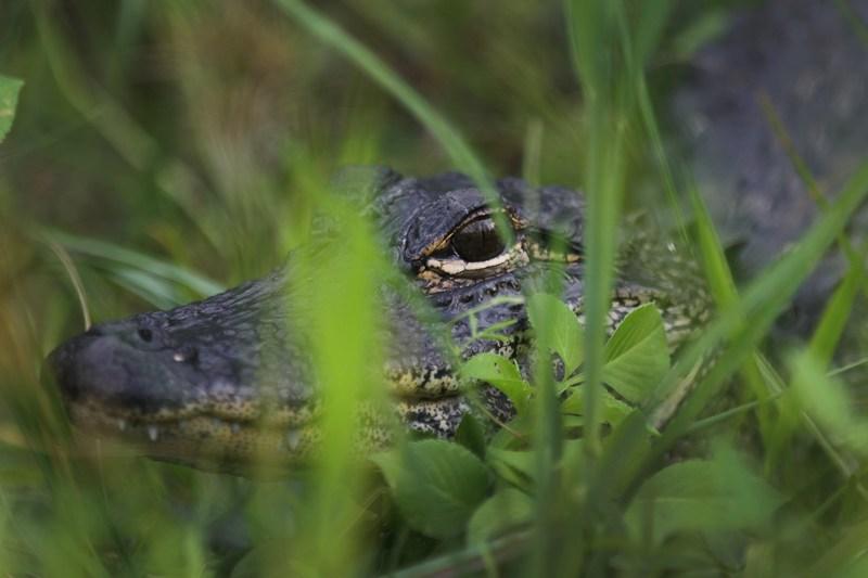 Алігатор. Національний парк Еверглейдс, Флорида. Фото: Joe Raedle/Getty Images