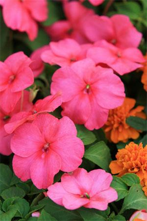 Прекрасные цветы на ежегодной Гонконгской выставке. Фото: У Лянью/Великая Эпоха