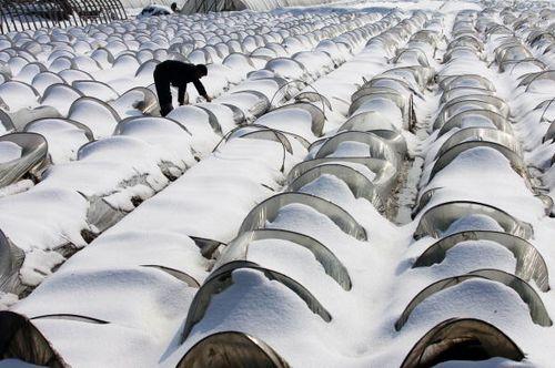 Від рясних снігопадів сильно постраждали рослинні культури. Місто Ухань 2 лютого. Фото: China Photos/Getty Images