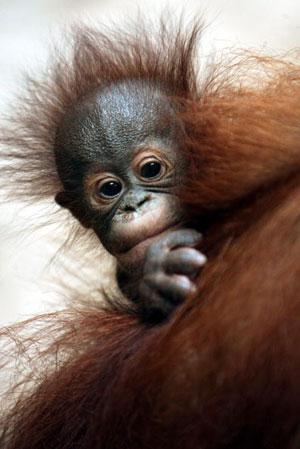 Джакарта. Детёныш орангутанга. Фото: Dimas Ardian /Getty Images
