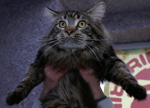 Міжнародна виставка котів пройшла у Харкові. 14 березня 2010р. Фото: Юлія Ламаалем / The Epoch Times