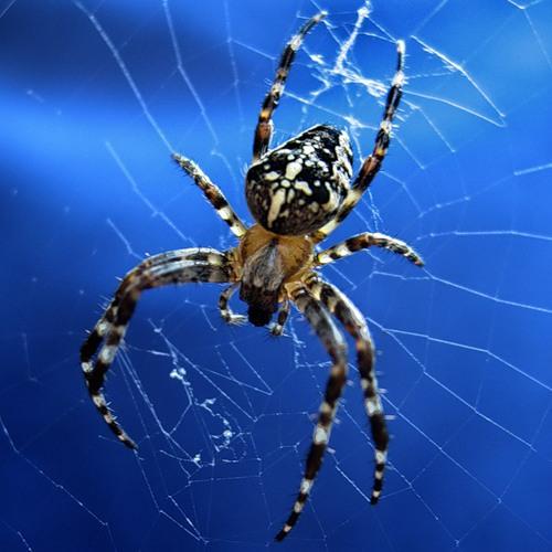 Найбільші павуки. Павук-хрестовик. Фото: img-kiev.fotki.yandex.ru