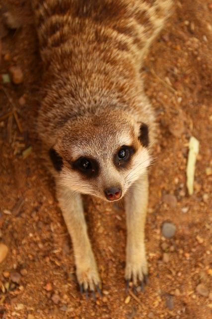 Сурикат. Зоопарк «Западные равнины Таронга». Даббо, Австралия. Фото: Mark Kolbe/Getty Images