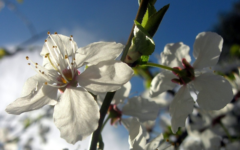 Цветение фруктовых деревьев и кустарников. Фото: Алла Лавриненко/EpochTimes.com.ua