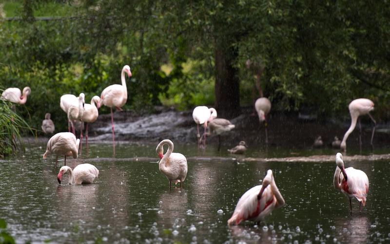 Фламінго на щорічному зважуванні і вимірюванні тварин у Лондонському зоопарку, Великобританія, 25 серпня 2011 р. Фото: Oli Scarff/Getty Images