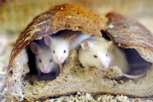 По китайскому лунному календарю 2008 г - это год мыши. Фото: Центральное агентство новостей