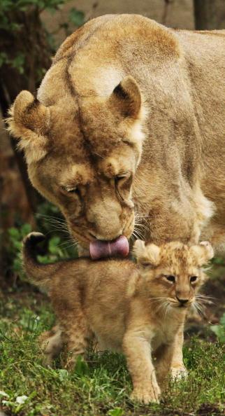 Левенята рідкісної породи народились у Лондоні. Фото: Dan Kitwood/Getty Images