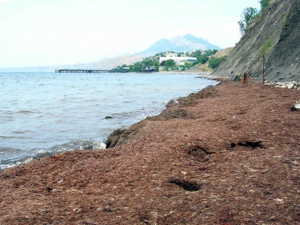 «Ковдра» з водоростей на пляжі Біостанції. Фото: Алла Лавриненко/The Epoch Times Україна