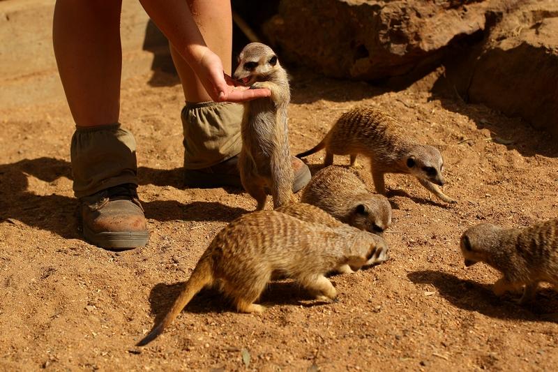 Кормление сурикатов. Зоопарк «Западные равнины Таронга». Даббо, Австралия. Фото: Mark Kolbe/Getty Images