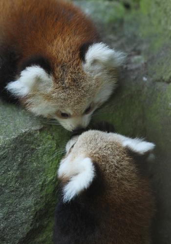 Панды-близнецы родились в Берлинском зоопарке. Фото: Sean Gallup/Getty Images