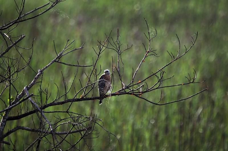 Ястреб. Національний парк Еверглейдс, Флорида. Фото: Joe Raedle/Getty Images