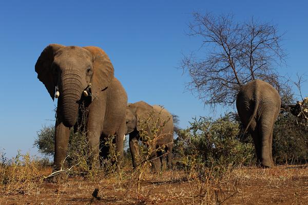Тут проживає найбільша кількість слонів - близько 900. Фото: Cameron Spencer / Getty Images