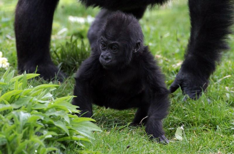 Детёныш гориллы Кукена в Бристольском зоопарке. Фото: Matt Cardy/Getty Images