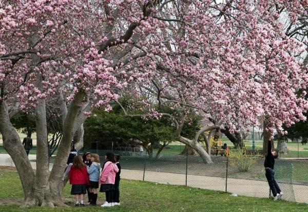 Ежегодный Фестиваль цветения вишни в Вашингтоне. Фото:Wilson/Getty Images