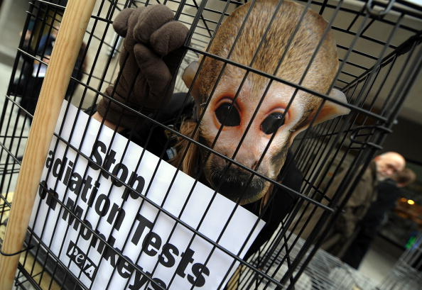 Активіст організації PETA, переодягнений у мавпу, протестує проти проведення дослідів на приматах. Вашингтон, округ Колумбія, 2 лютого 2010. Фото: JEWEL SAMAD / AFP / Getty Images