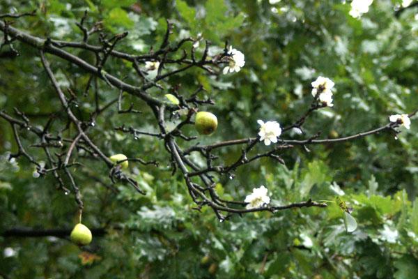 Цветущая груша в конце сентября. Фото: The Epoch Times