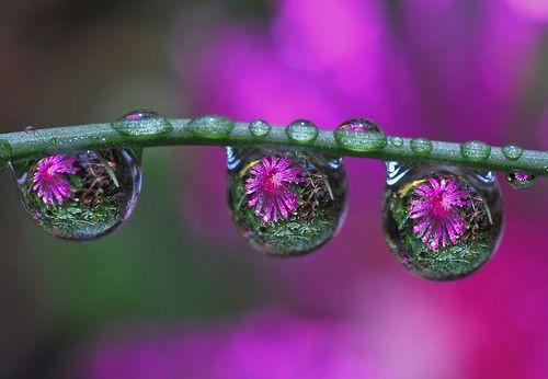 Цвет и цветы в каплях росы. Фото с aboluowang.com