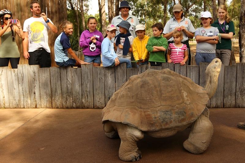 Галапагосская черепаха в зоопарке «Западные равнины Таронга». Даббо, Австралия. Фото: Mark Kolbe/Getty Images