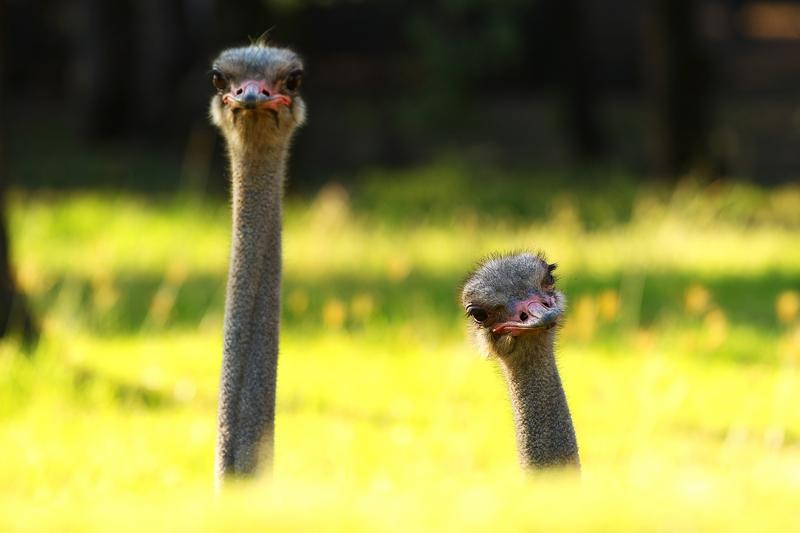 Любопытные страусы. Зоопарк «Западные равнины Таронга». Даббо, Австралия. Фото: Mark Kolbe/Getty Images