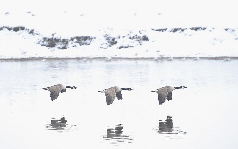 Ноттингем, Англия, 21 января. Канадские гуси летят вдоль заснеженных берегов реки Трент. Фото: Laurence Griffiths/Getty Images
