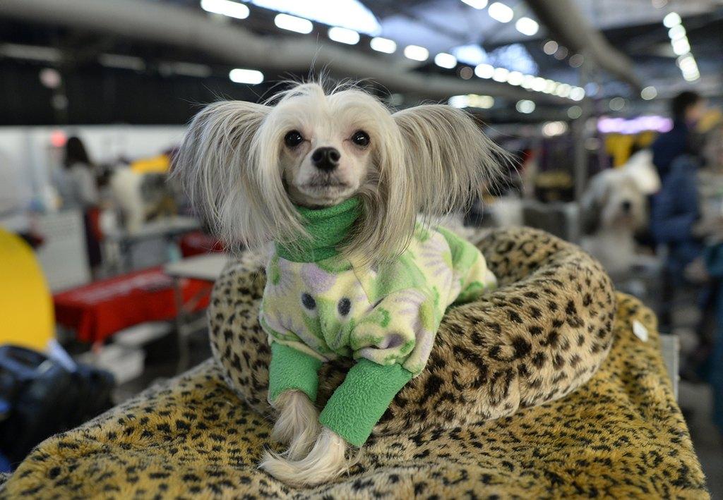 Китайская хохлатая собака на 138-й Вестминстерской выставке собак. Фото: TIMOTHY CLARY/AFP/Getty Images