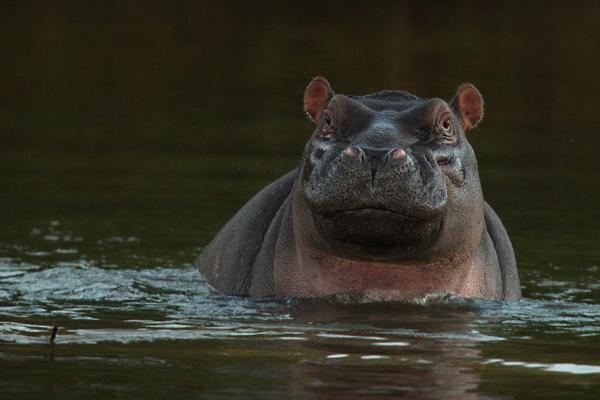Бегемот в реке Лимпопо. Фото: Cameron Spencer/Getty Images