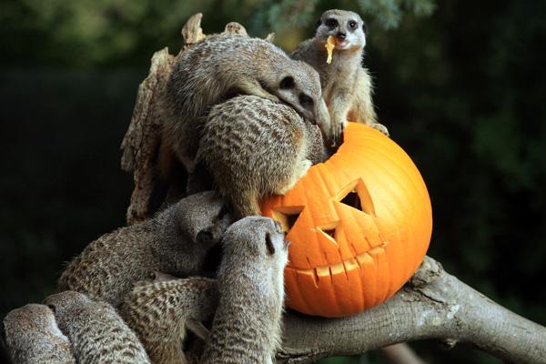 Сурикаты в Бристольском зоопарке Гарденс. Фото: Matt Cardy / Getty Images