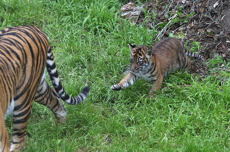 Тигрица Леанна с тигрёнком в зоопарке Сан-Франциско. Фото: Justin Sullivan/Getty Images