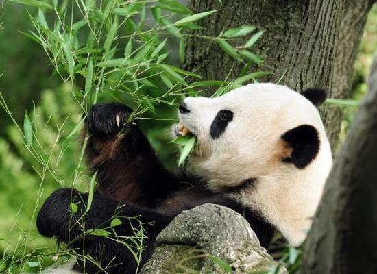 Фото: Самые редкие животные: Бамбуковый медведь - панда/Getty Images