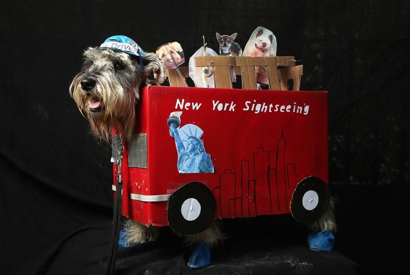 Нью-Йорк, США, 20 октября. Четырёхлетний шнауцер Начо в костюме водителя автобуса готовится к ежегодному параду собак, который состоится в Томпинкс-сквер-парке. Фото: John Moore/Getty Images
