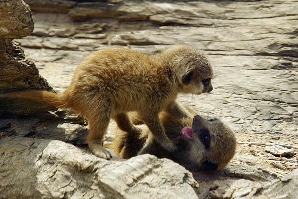 Сурикаты в Лондонском зоопарке. Фото: Jeremy O'Donnell/Getty Images