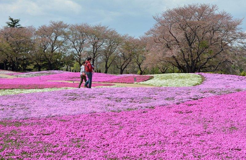 Татебаяси, Япония, 7 апреля. Посетители сада любуются полянами цветущих флоксов. По оценкам садоводов, в парке распустились более 400 тыс. цветов. Фото: KAZUHIRO NOGI/AFP/Getty Images