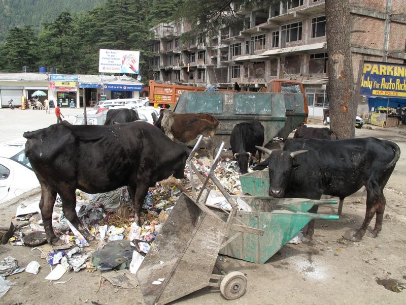 Коровы кушают мусор. Фото: Игорь Борзаковский/Великая Эпоха