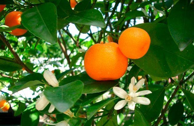 Цитрусовые. Эфирные масла этих комнатных растений способны значительно очищать воздух. Фото: floralife.com.ua