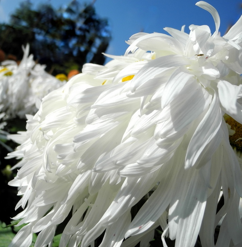Бал хризантем в Никитском ботаническом саду. Фото: Алла Лавриненко/Великая Эпоха
