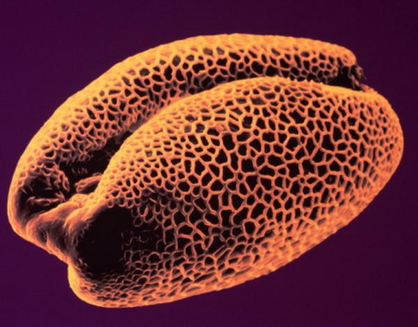 Айрис. Пыльца - аллерген, который является причиной сенной лихорадки. Пыльца дерева вызывает сенную лихорадку весной, пыльца травы летом. Симптомы аллергической реакции включают острый насморк, воспаление горла и глаз. Фото: S. Lowry/Getty Images