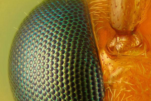 Глаз осы (увеличение в 40 раз). Фото сделано в Айсайкви, США