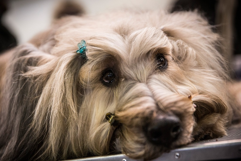 Французская овчарка на 138-й Вестминстерской выставке собак. Фото: Andrew Burton/Getty Images