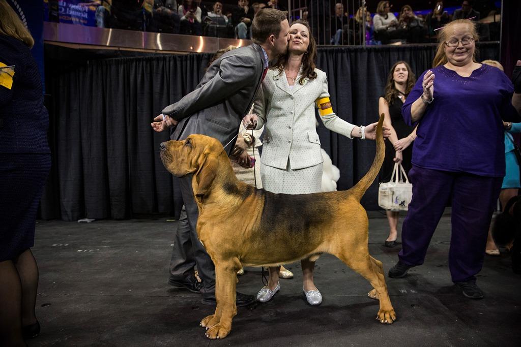 Бладхаунд Натан на 138-й Вестминстерской выставке собак. Фото: Andrew Burton/Getty Images
