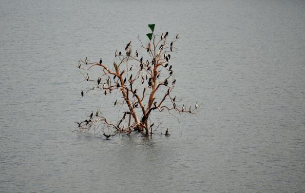 Птицы на дереве Симлийской плотины, расположенной приблизительно в 25 км от Исламабада. В столице острая нехватка воды, нет дождей, уровень воды достигает 7,87 м, запасов воды хватит всего лишь на 40 дней. 26 января 2010 года. Фото Фарука Наим / AFP / Get