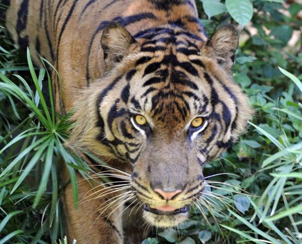 Суматранские тигры под угрозой исчезновения. Правительство Индонезии разработало план по спасению тигров, позволяя людям содержать детенышей животных в качестве домашних животных за 100000 долларов. Зоопарк Джакарты, 22 января 2010.